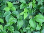 """Leaves Of Three, Let Them Be"" -- Avoiding Poison Ivy and Oak"